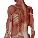 Muscles sur les côtes